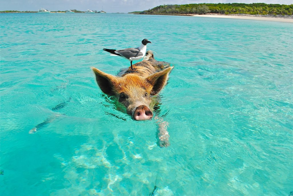 bahamas beach pig swimming
